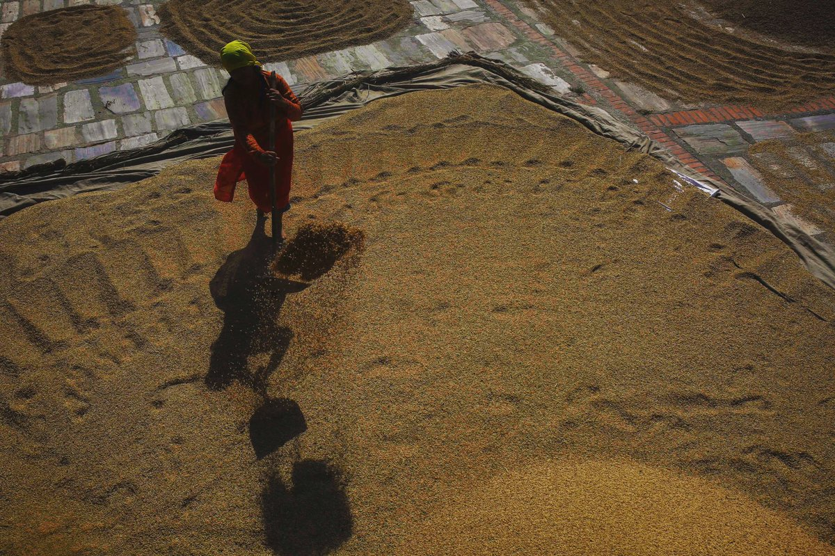 A Nepalese farmer dries harvested rice at Bhaktapur, Nepal on Saturday, October 19, 2019.
