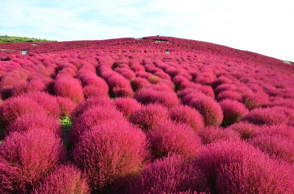 茨城・国営ひたち海浜公園、秋の絶景「コキア」約3万2千本が真っ赤に染まる秋の紅葉 -