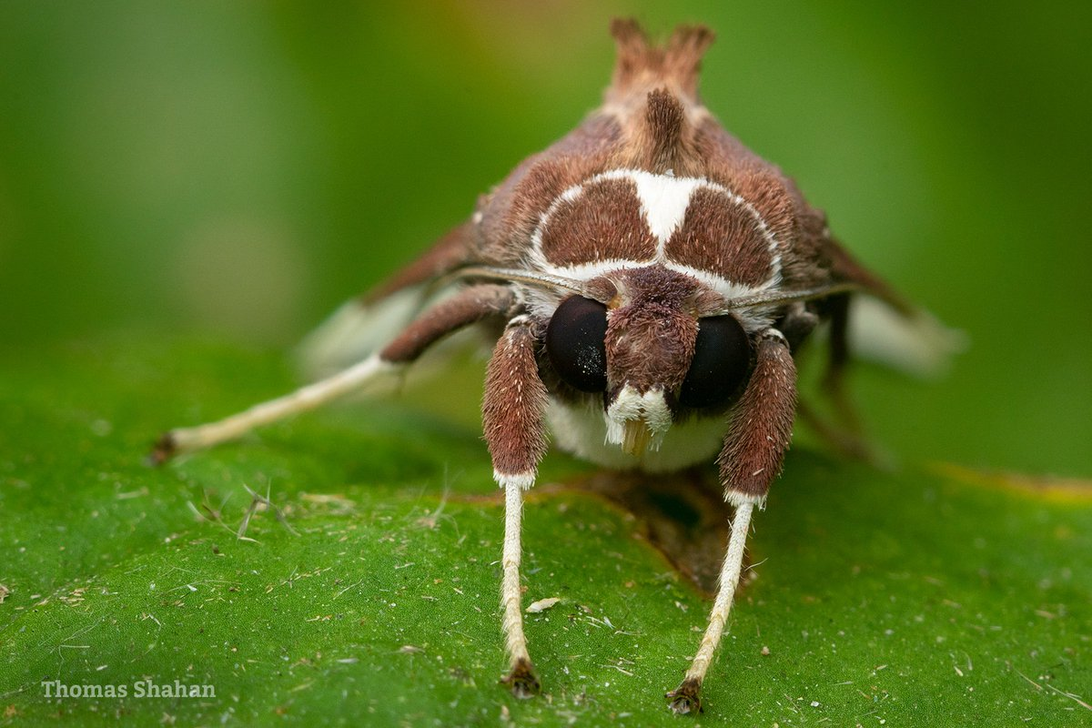 ...and heres a portrait of the moth. Maybe Bertholdia? Mindo, Ecuador