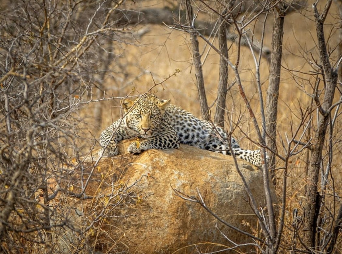 Leopards are incredible stalkers, getting within 5-10m of their prey before launching their attack. They rely on the element of surprise and their incredibly strong and muscular bodies in order to capture their prey.pic.twitter.com/W5YKBNnMzN