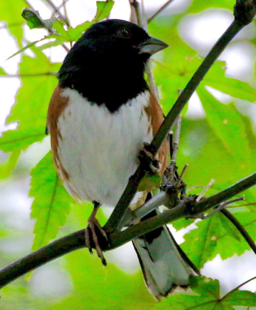 Herald Square Park... Eastern Towhee flew up to the tree for a brief second, gotcha! #easterntowhee #birdwatching #wildlife<br>http://pic.twitter.com/HSGRHDhSVn