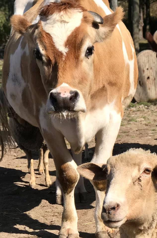 """""""Mom! Anu () stole my cover in Buffalo Spree magazine and now Tracy is photobombing me."""" - @albertsupercow #photobomb #albertthesupercow #ashasanctuary #friendsnotfood #cows #cuties #cutie #cute #family #safe #loved #bekind #bekindtoallkindspic.twitter.com/KkPCEaGS3J"""