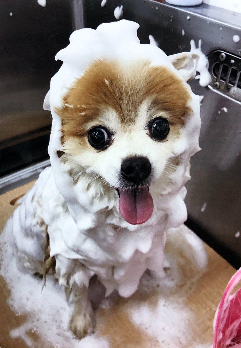 いつもシャンプーカットに行くと、泥パックか泡パックをしています!今回は泡パックにして、炭酸水であらってもらいましたやってる時の写真は初めて見たけど、なかなかの光景だね  #犬好きさんと繋がりたい #癒しわんこ #犬のいる暮らし #ポメラニアン #泡パック  #炭酸水pic.twitter.com/BmPGfn1mfI