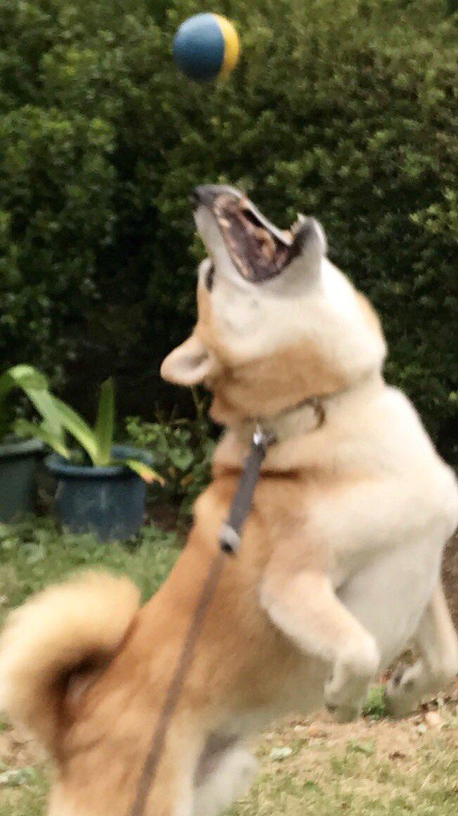 待って〜!!惜しくもボールをキャッチできなかった柴犬さん。捕獲に成功したときの達成感でいっぱいの表情にも注目です。画像提供:@inu_10kg / 興奮!ハプニング!からの焦り…投げられたボールをキャッチしそこねた柴犬さんが表情豊か