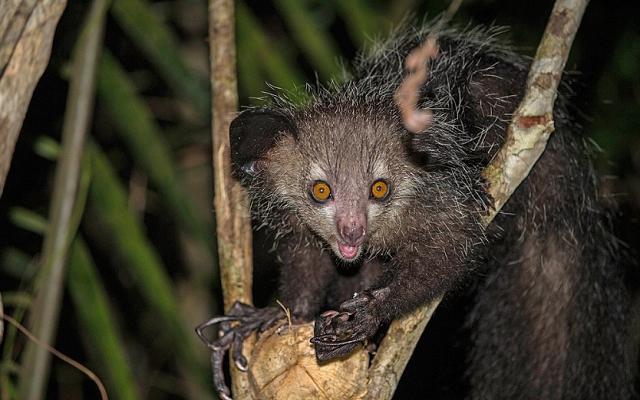 Este primate parecido a un lémur tiene un pequeño dedo extra