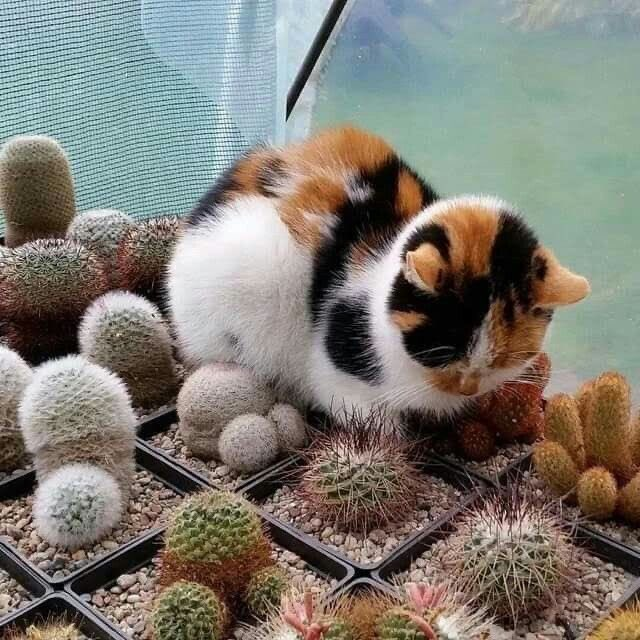 猫って意外とサボテンの刺には強いのかも知れない。足裏マッサージくらいの感覚なんじゃないだろうか。