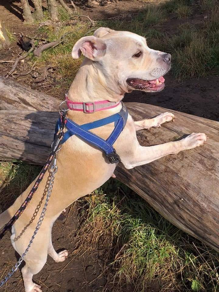 Happy #k9hour from adorabull Queenie @SeniorStaffy ❤ Shes on the lookout for her pawfect forever home so please spare her an RT? Discover more at seniorstaffyclub.co.uk/dogs-for-adopt… #TeamZay #itsallaboutthedogs #RESCUE #adoptdontshop ❤❤