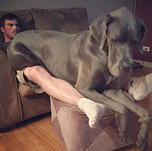 When LARGE dogs still believe they are tiny puppies:  #dogsarejoy #mondaythoughts #dogsarelove #MondayVibes #dogsarefamily #MondayMotivation<br>http://pic.twitter.com/WzPCJyF96Y