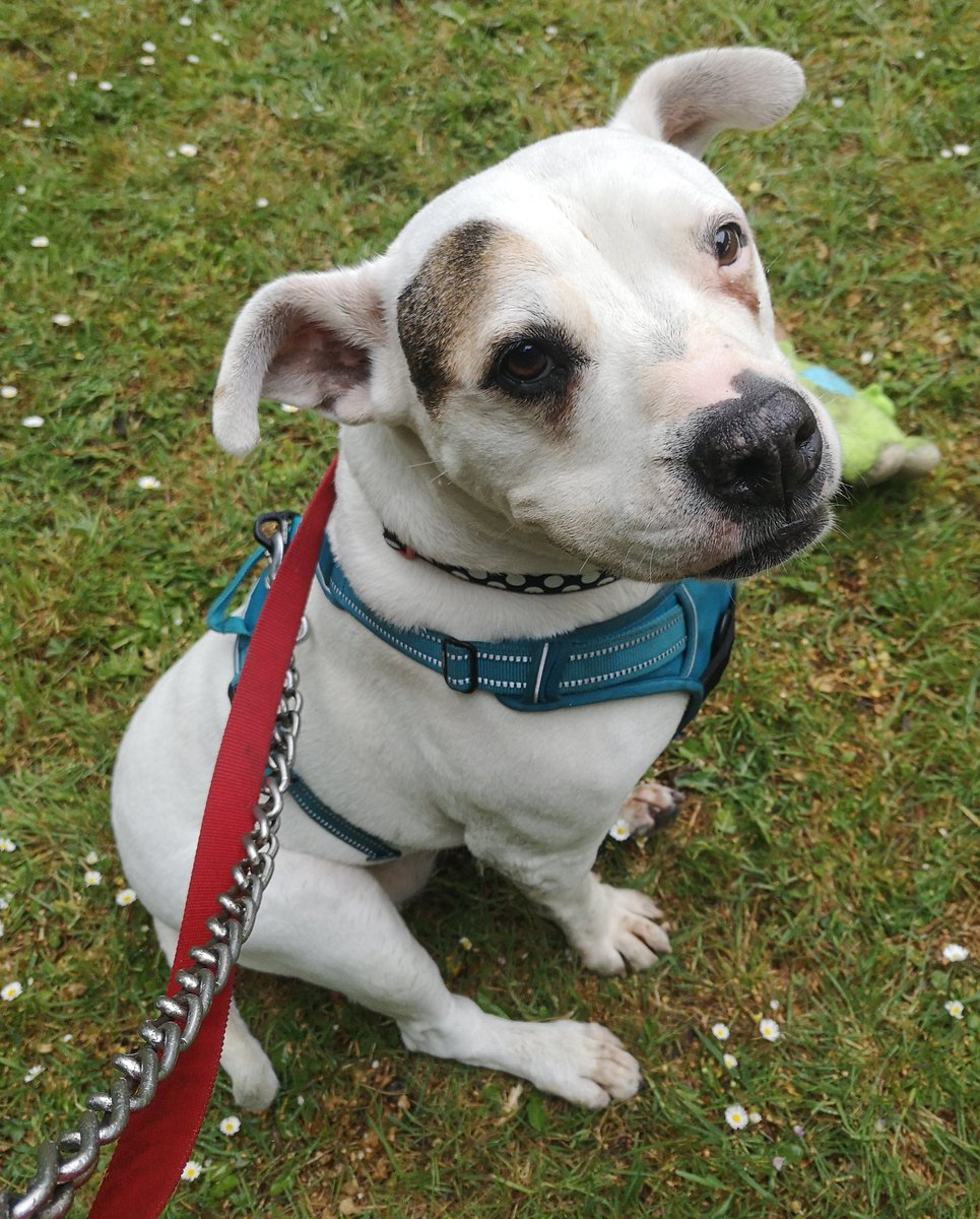 Happy #k9hour from Roxy at #Cardiff Dogs Home ❤ isnt she a little beauty! Shes on the lookout for her pawfect forever home so please spare her an RT? Discover more at cardiffdogshome.co.uk 🐾❤🐾 #TeamZay #itsallaboutthedogs #RESCUE #adoptdontshop ❤❤