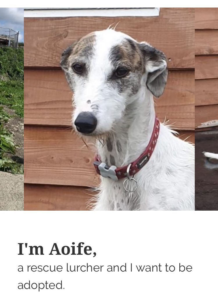Happy #k9hour from Aoife @hectorsgrescue Stunning lurcher lass and shes on the lookout for her pawfect forever home so please spare her an RT? Discover more at hectorsgreyhoundrescue.org #TeamZay #itsallaboutthedogs #RESCUE #adoptdontshop ❤❤