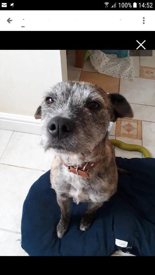 Mikey Urgently needs a #foster in the East Anglia area, he is a fantastic, lovable,cuddly and easy to train pupster. Loves children but needs to be the only pet. Please find it in your heart to give this boy a chance. He can't end up n Kennels #k9Hour #TeamZay