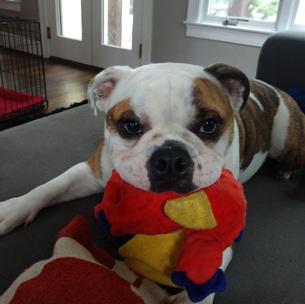 I  Gigi...  #englishbulldog  #dogsarejoy    http:// walksthatworkwonders.com    <br>http://pic.twitter.com/WAOqvr1cB0