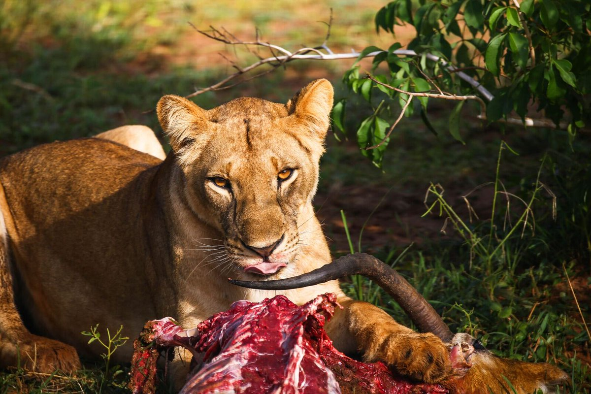 The jungle is only for the fittest, catching prey is one of the tasks. Lionesses do most of the hunting for their prides as the males protect the pride.  https://t.co/RBQfgd9g5j #Ugandawildlifesafaris #wildlifesafarisUganda #Ugandawildlifesafari #wildlifesafariUganda #Uganda https://t.co/TvmsDdrEAp