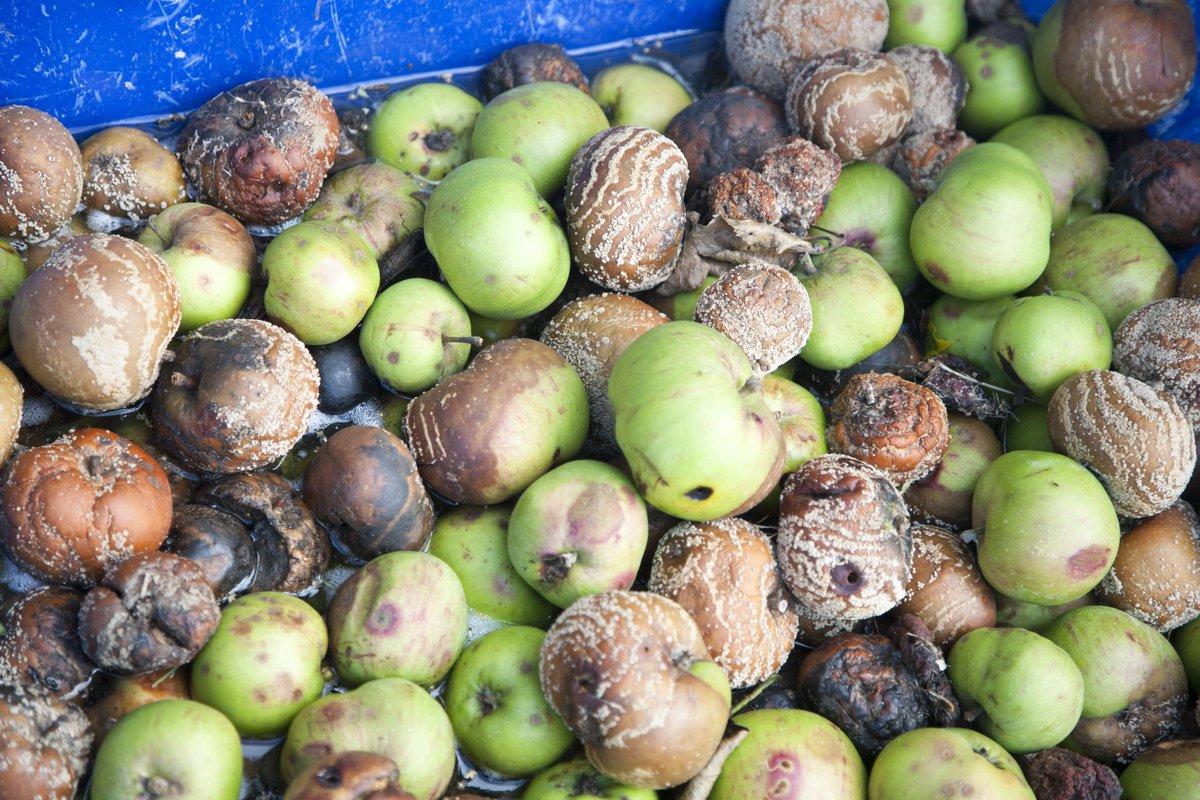 16 million apples are rotting in Britain because of Brexit  https:// london.eater.com/2019/10/22/209 26456/brexit-uncertainty-rotting-apples-uk-harvest-2019?utm_campaign=london.eater&utm_content=chorus&utm_medium=social&utm_source=twitter  … <br>http://pic.twitter.com/rp7Kn4mseB