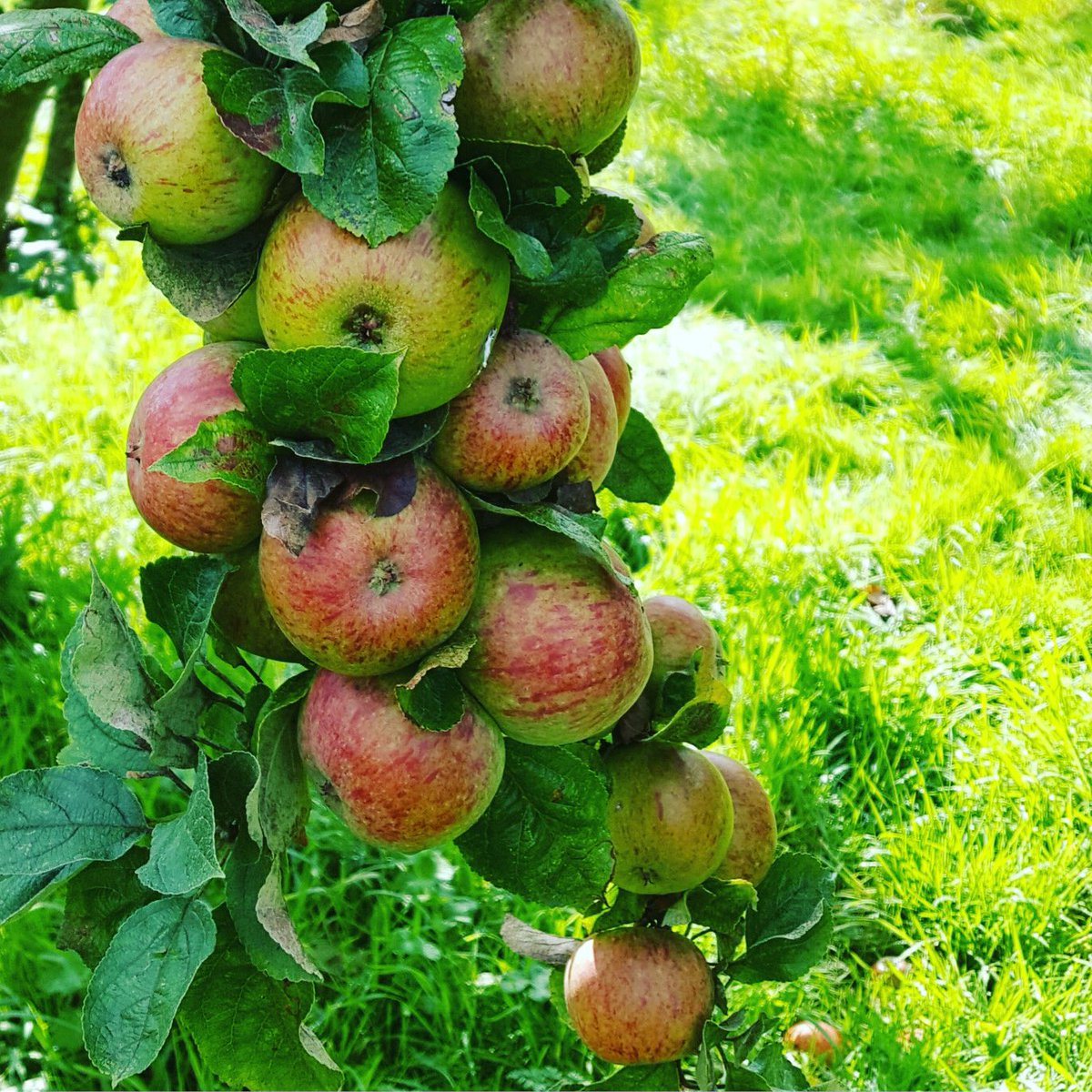 Crawley Beauty apples in abundance! #autumn<br>http://pic.twitter.com/DgnGn7MNUp