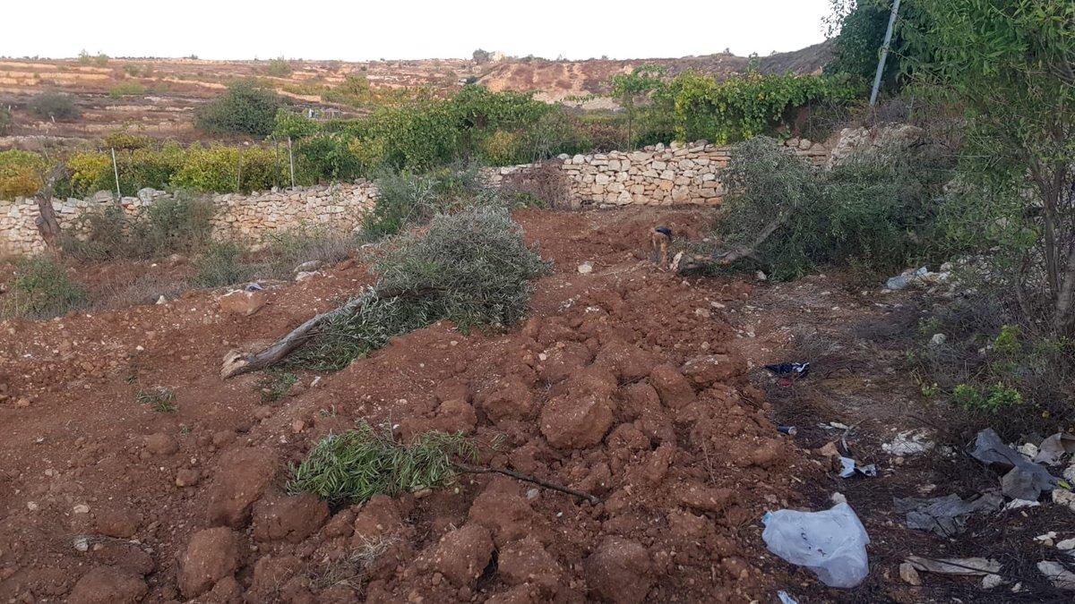 Terrorismo agrícola en #Gushetzion, #Israel, en #Sukkot.  Los árabes locales arrancan los olivos plantados por agricultores judíos hace más de una década.  ¿Será esto investigado?  ¿Reportado en algún medio de comunicación?   (@Joshhasten )pic.twitter.com/1fj40au3GW
