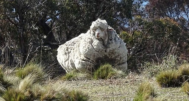 【世界記録を保持】毛の量が世界で一番多い羊、老衰で死ぬ 豪2015年にキャンベラ郊外で毛が重すぎて歩きにくい状態だったのを発見。刈り取られた毛の重さは40.2キロだったという。