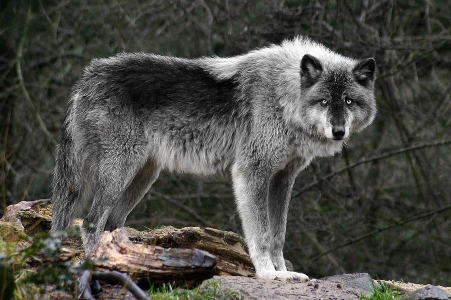 Притча о волках в картинках индеец самой середине