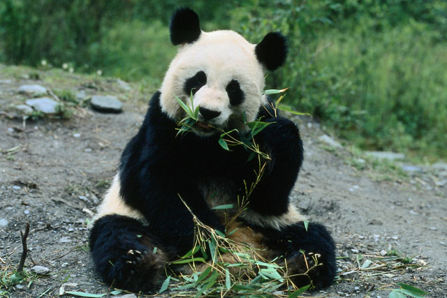 【パンダはマイペース】パンダの1日のスケジュールはのんびりしていて超マイペースです。ちなみにエネルギーの消費の関係でこのようなスケジュールなんです。①1日の50%は笹を食べている②1日の45%は寝ている③残りの5%で周辺をうろうろしている