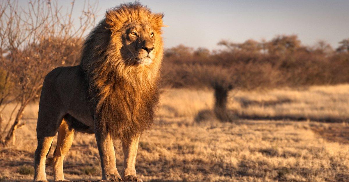 львы и афоризмы фото изготавливают разных материалов