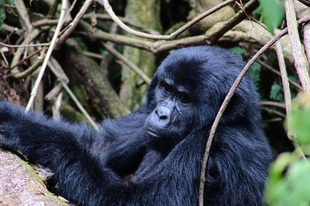 Regardless of your time schedule, A Rwanda gorilla safari is possible with this 1 day Rwanda gorilla tour https://t.co/GeZdNViWIo https://t.co/Pok5LKhfDO #Rwandagorillasafari #Rwandagorillatour #GorillasafariRwanda #GorillasafarisRwanda  #ShortRwandagorillasafari https://t.co/1COlmVvLwR