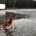 大雨で大変な中、野生のザリガニが襲ってきた!