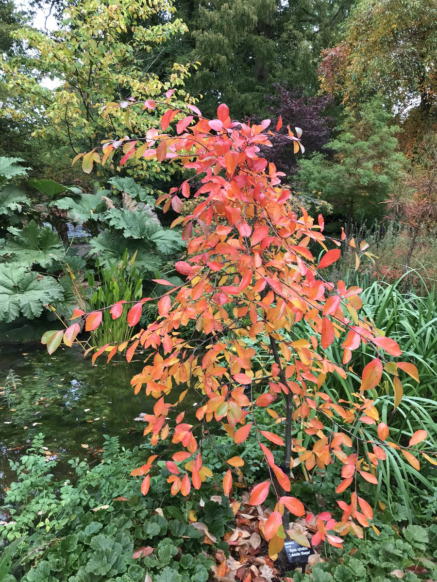 The new Nyssa on the new bog bed in Oakwood has got amazing autumn colour. Nyssa sylvatica Lakeside Weeper #nyssasylvatica #wisley_oakwood @RHSWisley #boggarden