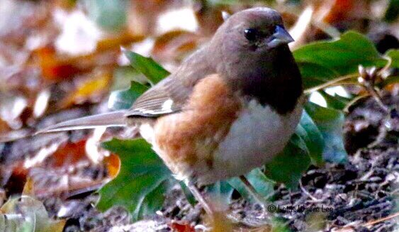 Female Eastern Towhee foraging in early evening in Union Square Park yesterday.  #easterntowhee #birdwatching #wildlife<br>http://pic.twitter.com/pDrxSROTO1