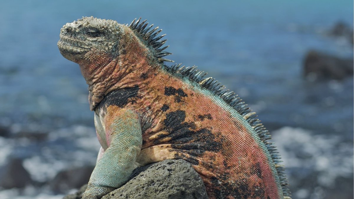 Морские игуаны картинки