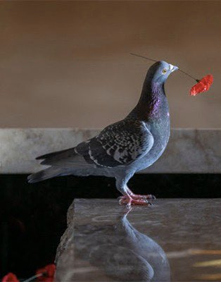 A crafty pigeon has been helping itself to poppies placed on the Tomb of the Unknown Soldier at the Australian War Memorial and has built a nest in an alcove beneath a stained glass window. How touching this Remembrance weekend. #RemembranceDay