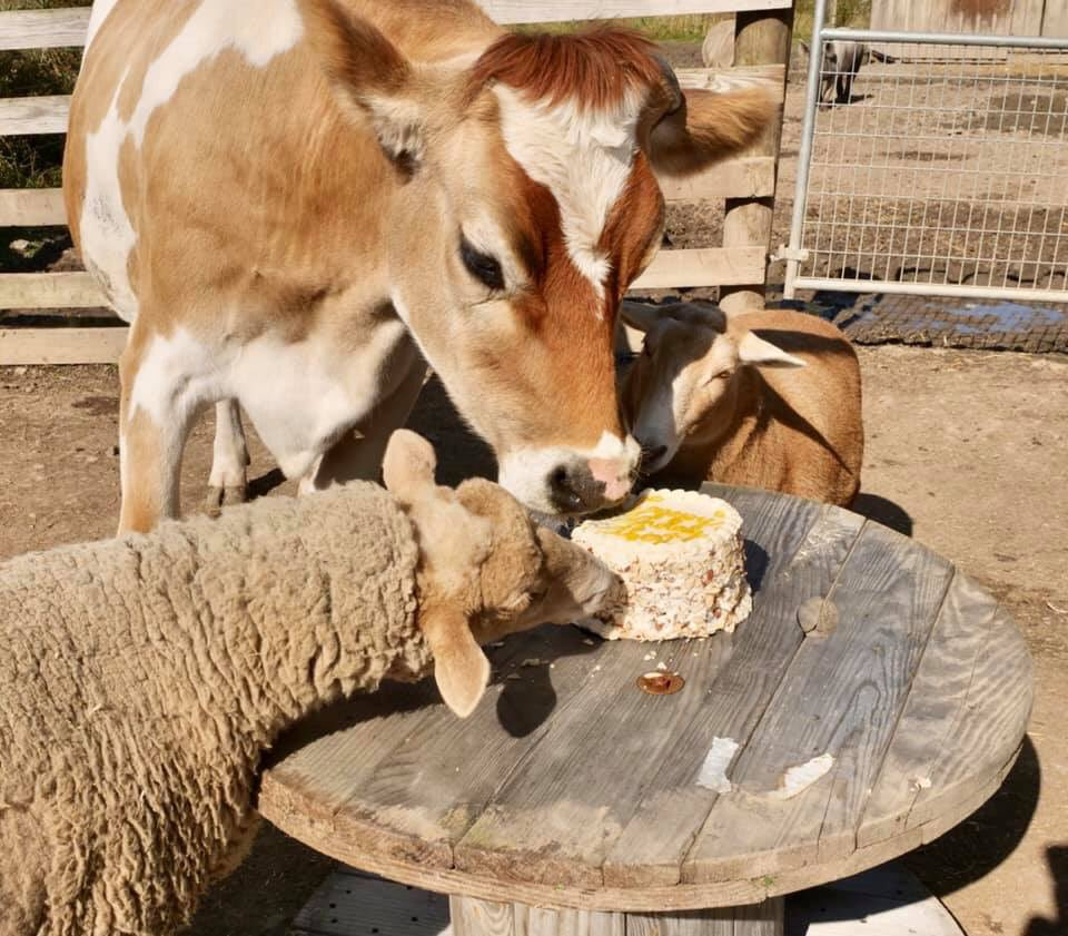 Albert's very own birthday cake he shares with his sheep friends.   Eden Cafe of Batavia, NY, thank you so much for making and generously donating his cake. #edencafe #albertthesupercow #ashasanctuary #friendsnotfood #compassion #rescue #love #animals #safe #happypic.twitter.com/VeuI3CtQXC