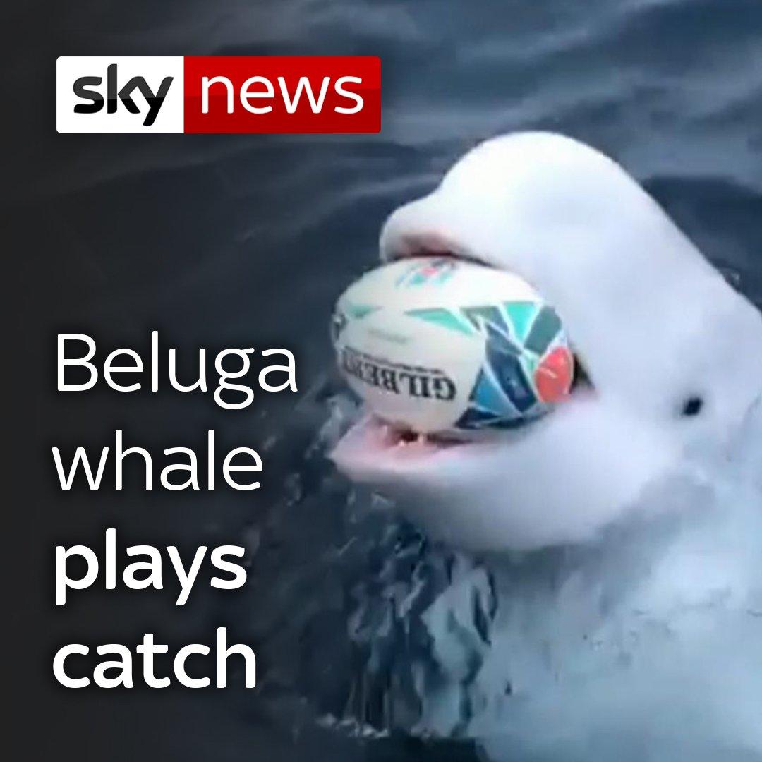 🐋 Beluga Whale playing catch near the North Pole. 🐋 #SundayFunday via @SkyNews pls follow