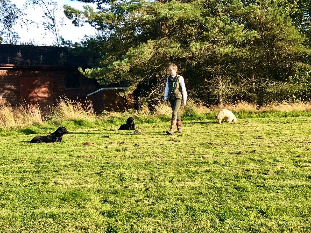 @duchessgoldblat I offer these beauties, Labrador retrievers, hunting gun dogs of Gleneagles, Scotland, demonstrating their skills with their handler.