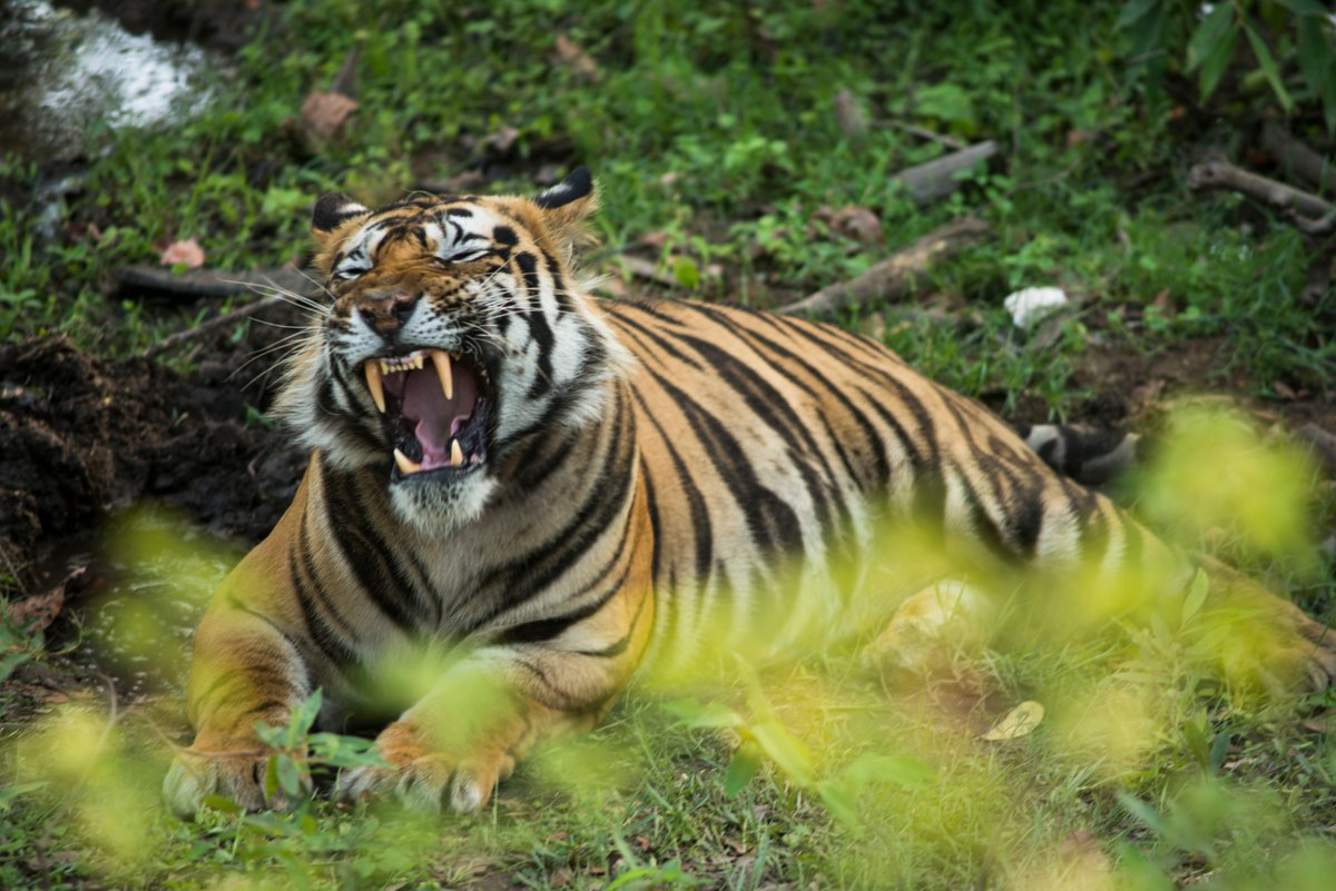 #India🇮🇳 is home to 75% of the world's tiger population! Efforts of officers like Ramesh Kumar Pandey of Dudhwa Tiger Reserve help the Tiger to flourish. Congratulations for getting @UNEP's 2019 Asia Environmental Enforcement Awards for fighting transboundary environmental crime.