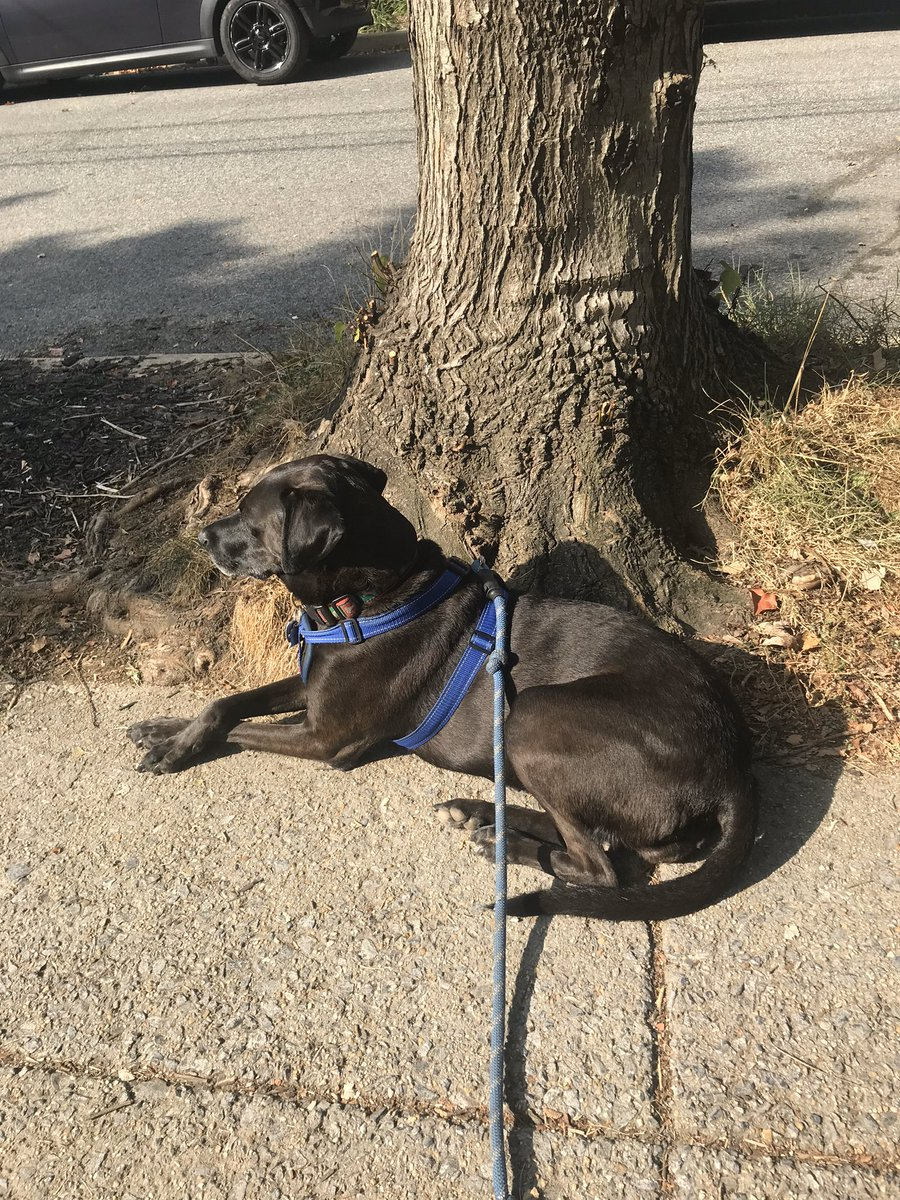"""@duchessgoldblat Yuli loves to go out for a """"walk"""" on a sunny fall day. (Also, please note the very genteel way she crosses her paws.) #DGDS"""