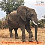 Image for the Tweet beginning: Happy #EleFunFactFriday!  Elephants don't have gallbladders.  #elephants