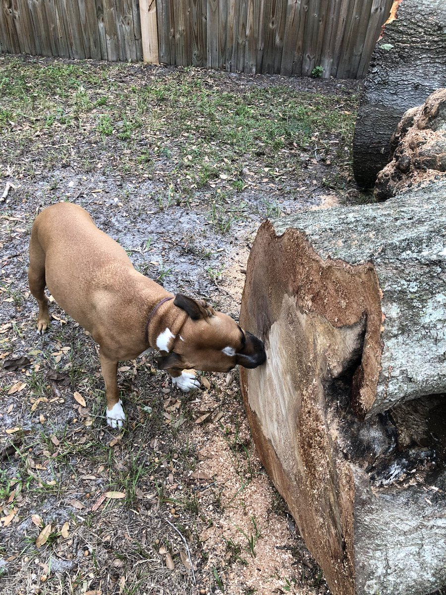This is Pepper, shown licking a stump for unknown reasons.  #DGDS