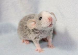 CURLY RAT! CURLY RAT! CURLY RAT! CURLY RAT! CURLY RAT! CURLY RAT! CURLY RAT! CURLY RAT!