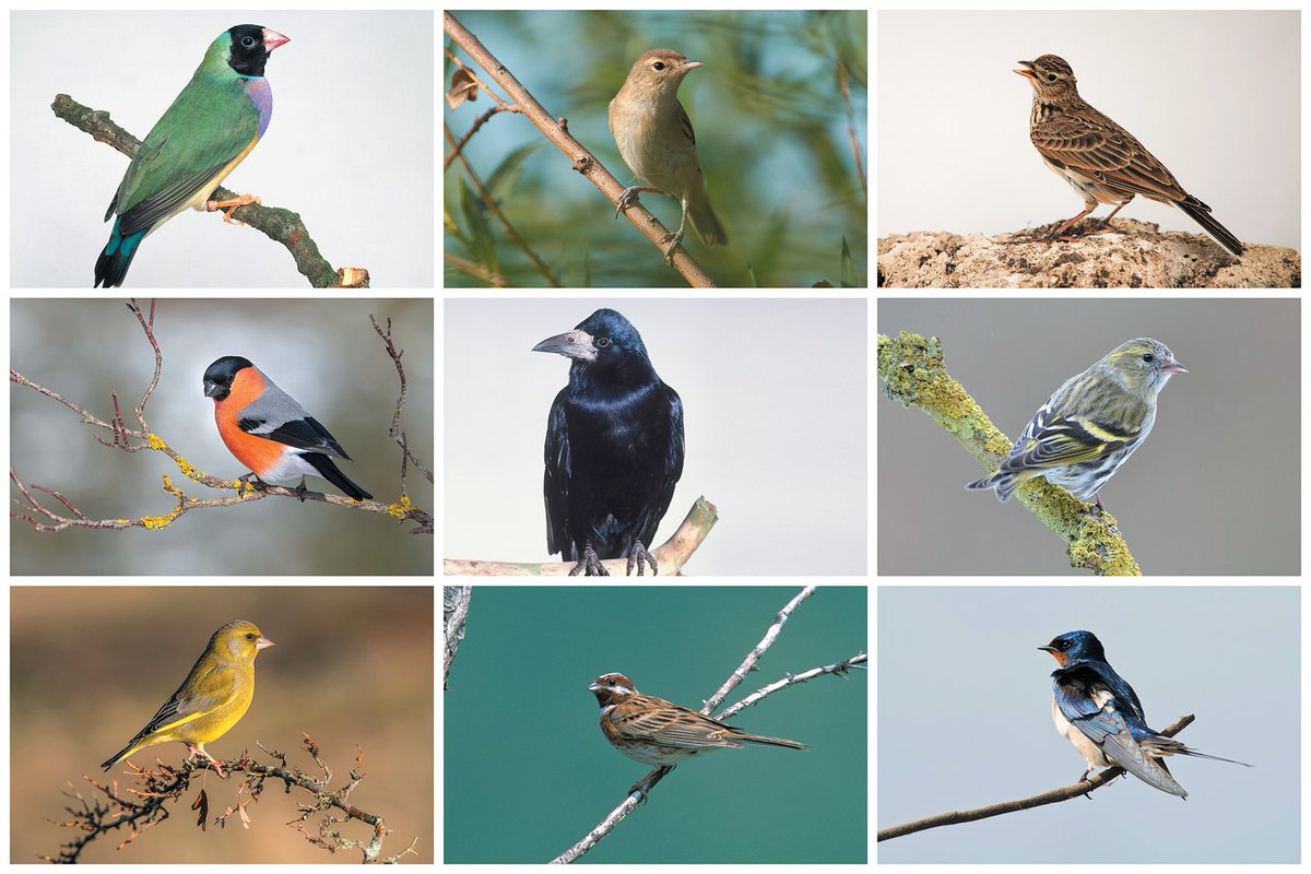 Recent studies show that songbirds have an extra chromosome not found in other birds, suggesting that it might have been the key to their diversification http://bit.ly/2PZqTpx
