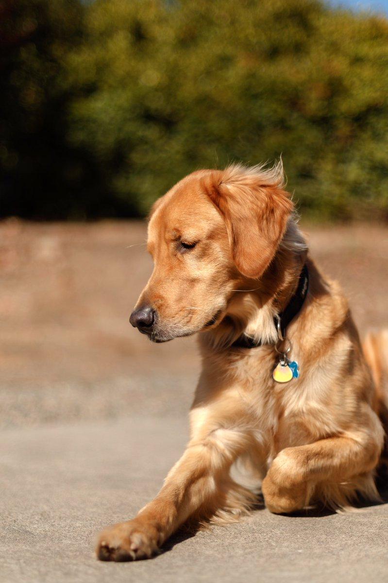 @duchessgoldblat #DGDS  Rusty The Dog