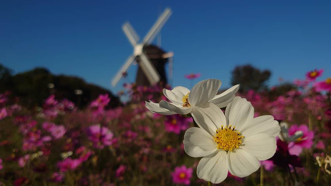 🌸見頃ギリだったけど今年もこの風車の丘のコスモスを見れてよかった🌸 #イマソラ #無加工 #スマホカメラ部  #NoFilter #ノーフィルター #flower #フラワー #花だより #花 #Flowerphoto #コスモス #秋桜 #コスモス畑 #風車 #風車の丘 #花博記念公園 #鶴見緑地 #Xperia #Xperia5 #だから私はXperia