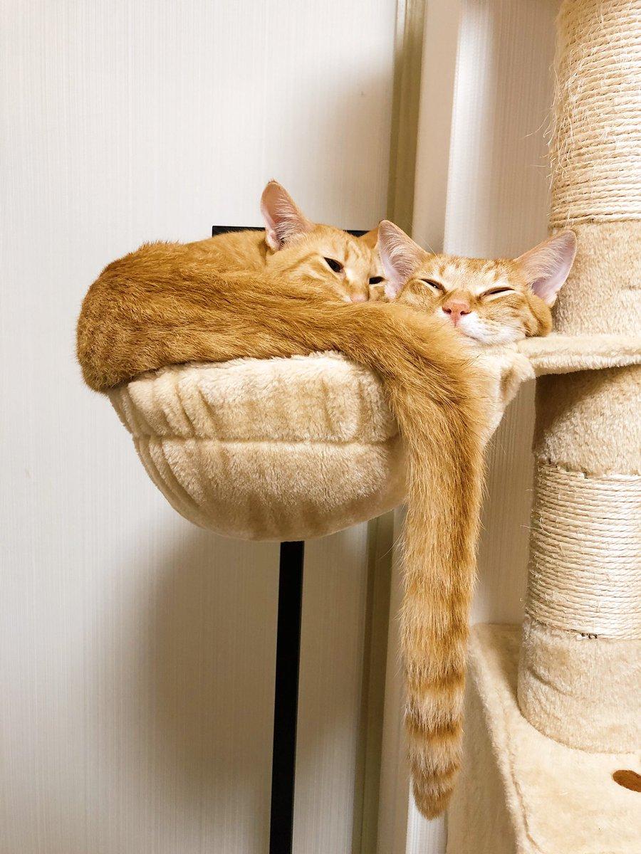 枝垂れ桜のように尻尾垂らすのが好きなチャーミーちゃん #ネコ #猫の尻尾 #チャーミーとミーコ #ねこねぞう