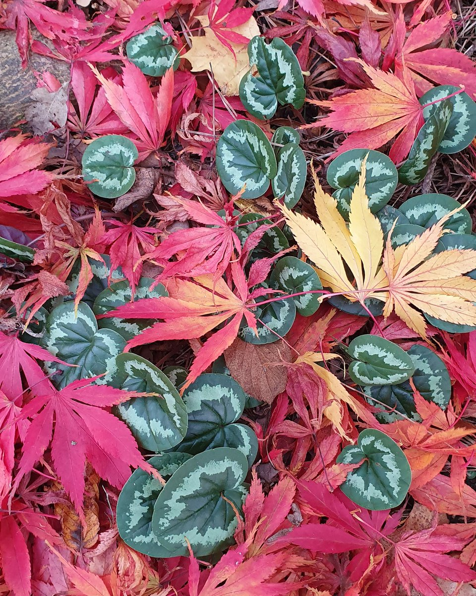 I think my autumn is complete !! The green the red and the gold from the Acer palmatum and Cyclamen coum on the Rock garden @RHSWisley are just incredible.