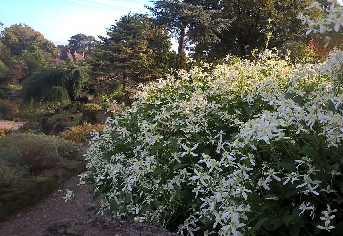 With a stunning view over the Rock Garden, this sweet autumn clematis is in full flower. The starry white Clematis terniflora gleams in the autumnal sun as it clambers over the rocks. Come and take a look rhs.org.uk/gardens/wisley