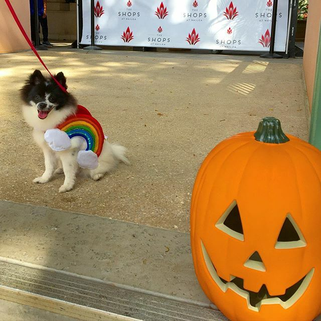 Happy Halloween from this fluffy little rainbow, and the rest of us at Team Nicoletti! #hawaiihalloween #mauihalloween #rainbowpuppy #pomeranianpuppy #pomsofinsta #pomeraniansofinstagram #pomsofinstagram https://ift.tt/2BXJ0ns pic.twitter.com/59RtXj9hFx