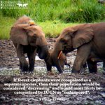 Image for the Tweet beginning: Happy #EleFunFactFriday! If forest elephants were