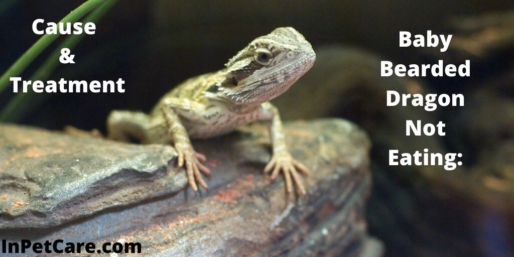 """Baby Bearded Dragon Not Eating: Cause & Treatment """" https://bit.ly/2N9mwX9 """" #beardeddragoncare #dragoncare #babydragoncare #allpetcare #inpetcare #peylover #dragonlover #follow #tanujazz #taniyanishadpic.twitter.com/IOhqkZsZz4"""
