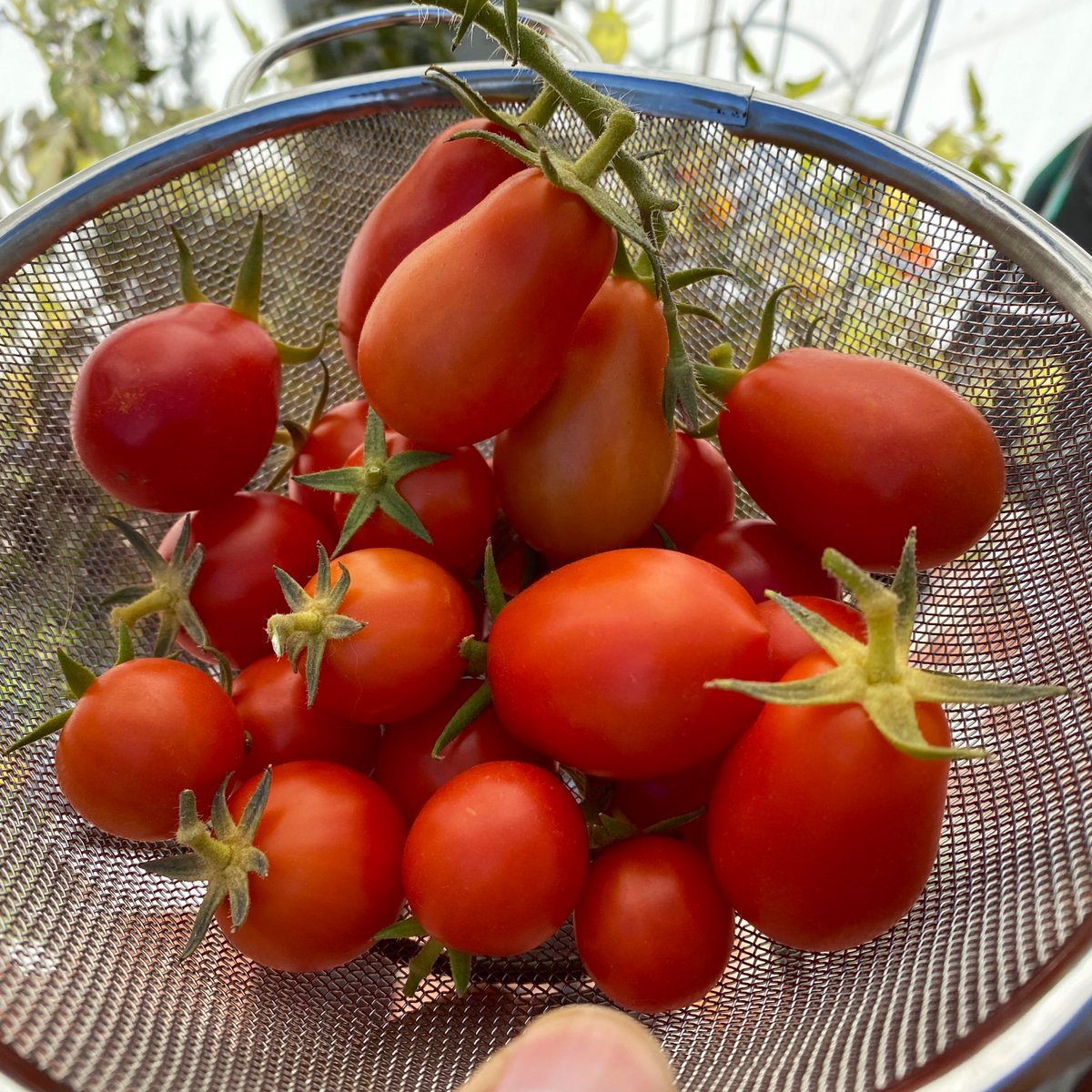 Decent Tomato bounty (Roma and Campari). Also managed to get some spring onions #harvestday #benvinsgarden