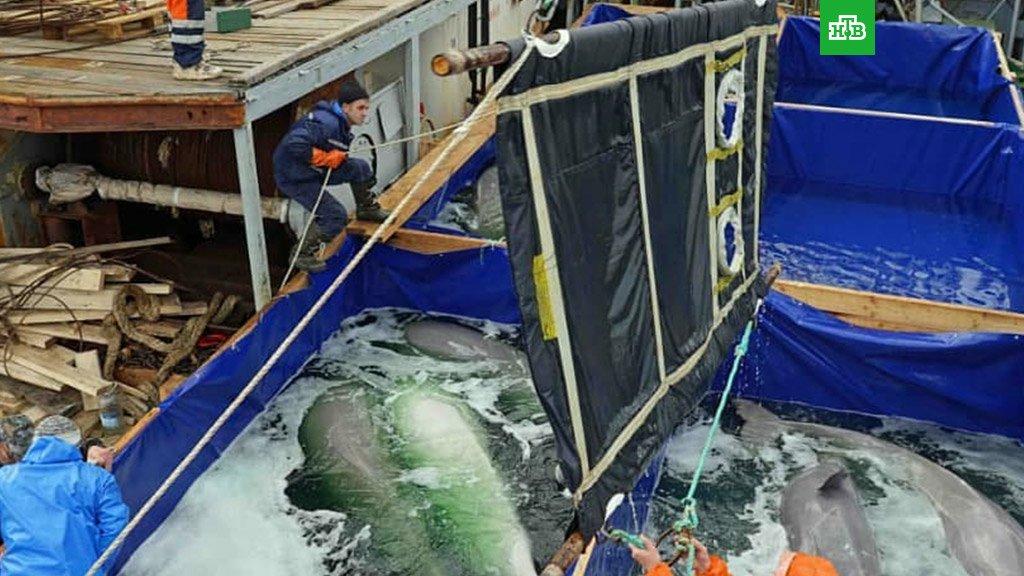 фото перевозка дельфинов и белух шкаф купе радион