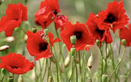 """""""When the War is over and the sword at last we sheathe, I'm going to keep a jelly-fish and listen to it breathe. When the War is over and we've finished up the show, I'm going to plant a lemon-pip and listen to it grow."""" ~A.A.Milne #peace #RemembranceSunday #SundayMotivation"""